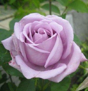 Роза Чайно-гибридная Голубой Нил (Код: 12362)
