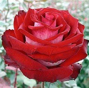 Роза Чайно-гибридная Госпель (Код: 4477)