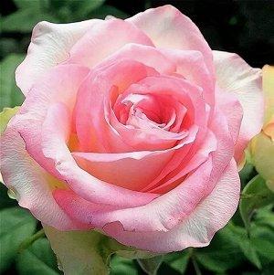 Роза Чайно-гибридная Дольчевита (Код: 12363)