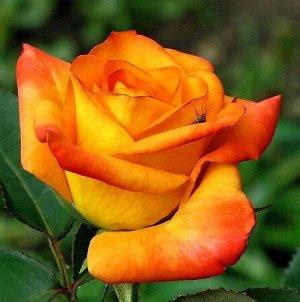 Роза Чайно-гибридная Иоки Доки (Код: 6050)