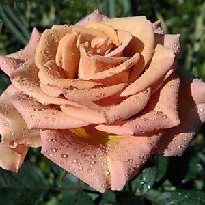 Роза Чайно-гибридная Марракеш (Код: 5024)