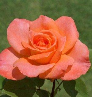 Роза Чайно-гибридная Персиковый Амбасадор (Код: 4507)