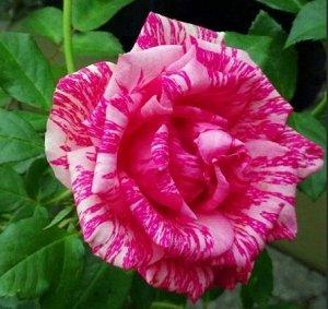 Роза Чайно-гибридная Пинк Интуишн (Код: 6495)