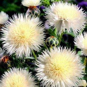 Цветы Василек мускусный Невеста (0,3г)