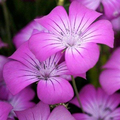 Семена от бегонии до петунии, а также семена овощей и зелени — Цветы однолетние — Семена цветов