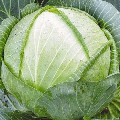 2000 видов семян для посадки! Подкормки, удобрения.   — Семена Капусты — Семена овощей