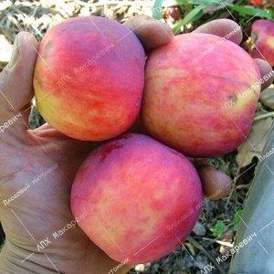 Яблоня Алтайское Румяное (2-х летний саженец )