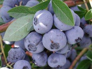 Голубика высокорослая Нельсон (С2)Vaccinium corimbosum  Nelson