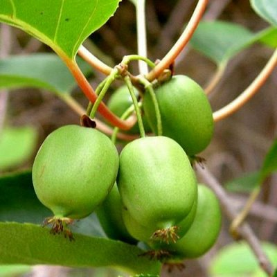 Кустарники плод-ягодные и декоративные.Весна не за горами. — Актинидия, арония, вишня войлочная — Плодово-ягодные