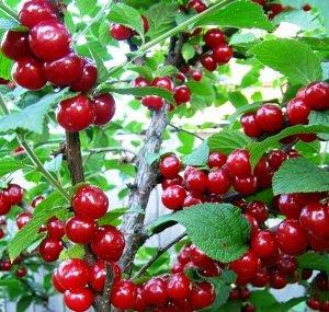 Вишня войлочная  (С5 Н60-80)Prunus tomentosa