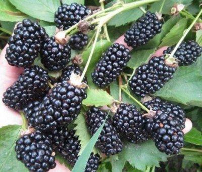 Кустарники плод-ягодные и декоративные.Весна не за горами. — Ежевика,малина, ежемалина — Плодово-ягодные