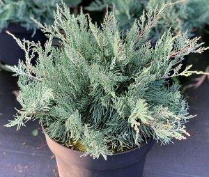 Можжевельник # серебристый Juniperus Grey 7-10 см
