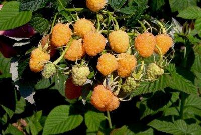 Саженцы- вашей мечты🌿 В пути — Малина: — Плодово-ягодные