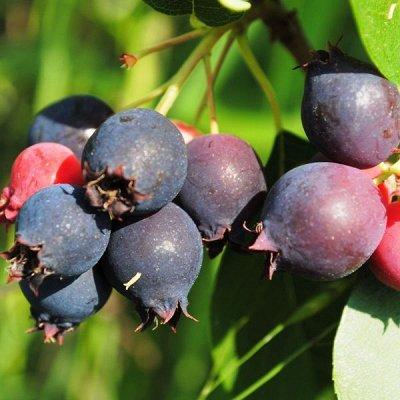 Кустарники плод-ягодные и декоративные. Весна. Свободное — Инжир, ирга, йошта — Плодово-ягодные