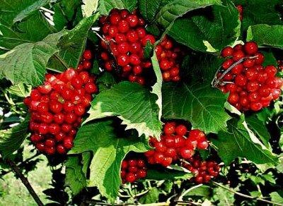 Кустарники плод-ягодные и декоративные.Весна не за горами. — Разные плодово-ягодные кустарники — Плодово-ягодные