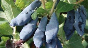 Синий Утёс Куст сдержанного роста, овальный, штамбовый, средней плотности. Созревание раннее, дружное. Ягоды его крупные (средняя масса 1,8 г, максимальная 2,4 г) удлиненно-каплевидные, гладкие, плотн