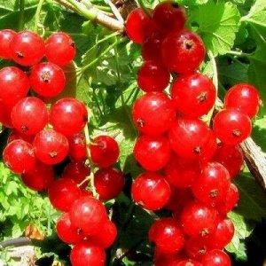 Смородина красная традиционные сорта Хрустящая