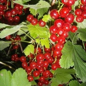 Смородина красная традиционные сорта Щедрая