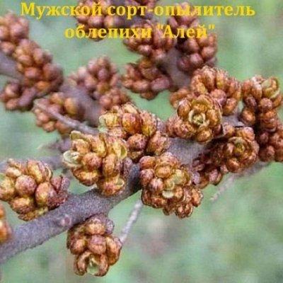 Саженцы- вашей мечты🌿 В пути — Облепиха: — Плодово-ягодные
