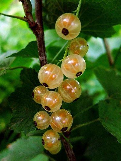 Саженцы- вашей мечты🌿 В пути — Смородина: — Плодово-ягодные