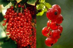Смородина красная перспективные сорта Уральская красавица