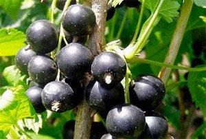 Смородина черная традиционные сорта Гулливер