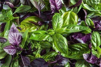Семена Алтая — Зелень