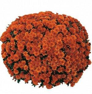 ХРИЗАНТЕМА Conaco Orange