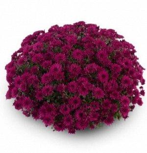 ХРИЗАНТЕМА Amadore Purple (Violet)
