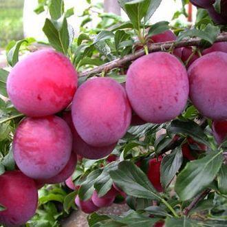 Сибирские Саженцы плодово-ягодных  🍏 🍒 * Оплата 50/50 — Алыча +Сливы+ Сливово-Вишневый Гибрид (СВГ) — Плодово-ягодные