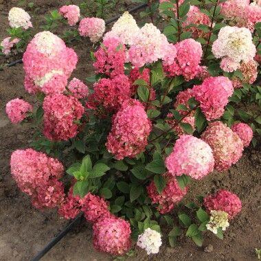 Кустарники плод-ягодные и декоративные.Весна не за горами. — Гортензия древовидная и метельчатая — Декоративноцветущие