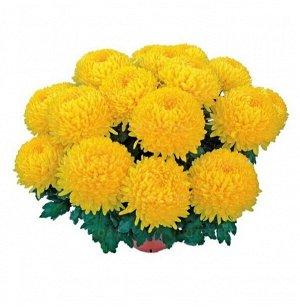 ХРИЗАНТЕМА Etincelor Yellow