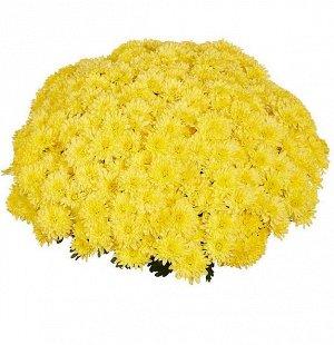 ХРИЗАНТЕМА Homerun Yellow