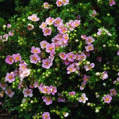 Кустарники плод-ягодные и декоративные.Весна не за горами. — Лапчатка кустарниковая — Декоративноцветущие