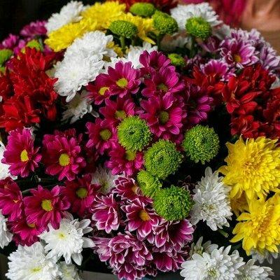Весна 2021! Мультифлора 89 руб! Свободное в счете! — Хризантемы Веточные, Срезочные, Букетные. Рассада. — Декоративноцветущие