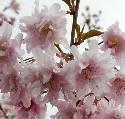 Саженцы- вашей мечты🌿 В пути — Сакура — Декоративноцветущие