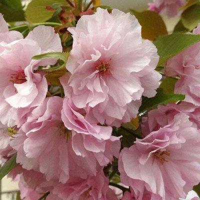 Кустарники плод-ягодные и декоративные.Весна не за горами. — Прочие декоративные — Декоративноцветущие