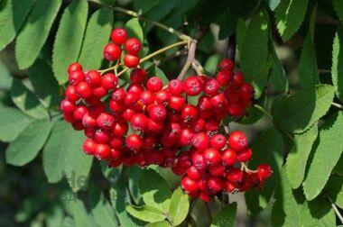 Саженцы- вашей мечты🌿 В пути — Рябина — Плодово-ягодные