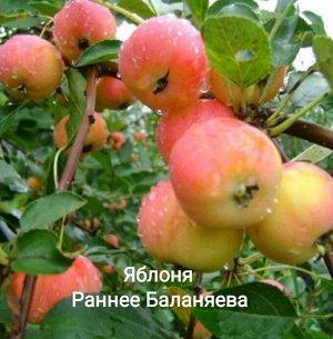 Саженцы Яблони Раннее Баланяева