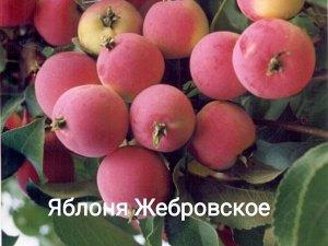 Саженцы яблони Жебровское
