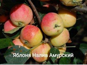 Саженцы Яблони Налив Амурский