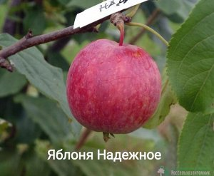 Саженцы Яблони Надежное