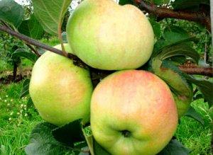 Крупноплодная яблоня