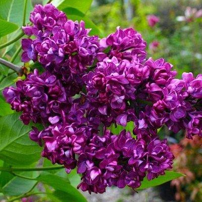 Кустарники плод-ягодные и декоративные.Весна не за горами. — Сирень — Декоративноцветущие