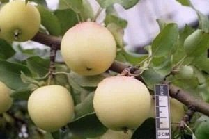 Полукультурная яблоня