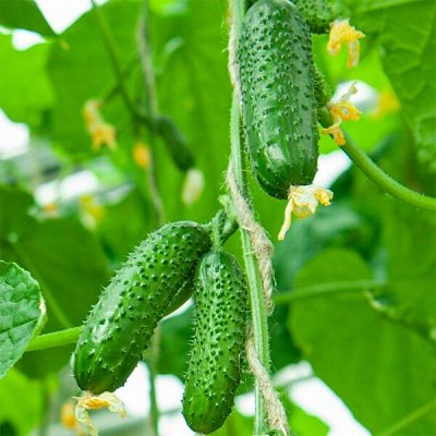 Семена ГАВРИШ- гарантия качества. В пути — ОГУРЕЦ ПАРТЕНОКАРПИЧЕСКИЙ — Семена овощей
