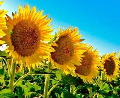 Семена ГАВРИШ- гарантия качества. В пути — ПОДСОЛНЕЧНИК — Семена овощей