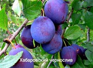 Чернослив Хабаровский