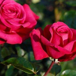 Роза Hot Lady