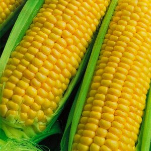 """Кукуруза сахарная Ранняя лакомка 121 """"Кольчуга NEW"""" (5г)"""